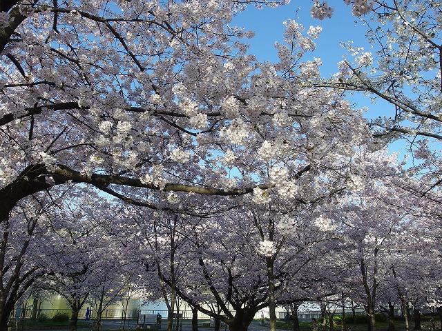 毛馬桜ノ宮公園の桜