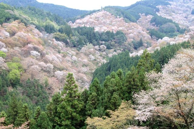 吉野山の桜見物