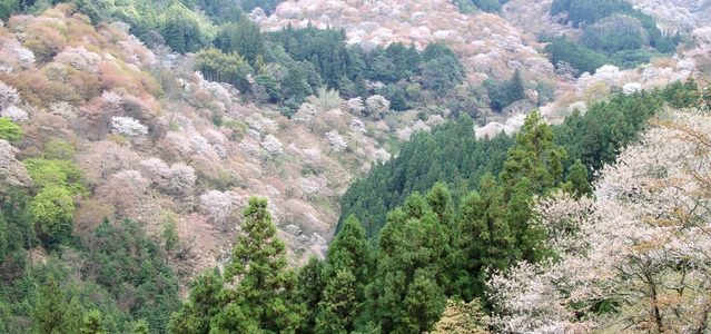 吉野山の桜見物 開花予想と見頃、吉野の情報